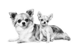Chihuahuas ROYAL CANIN®