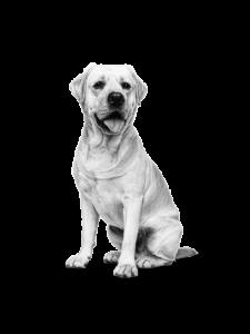 Labrador Adult