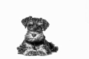 Miniature Schnauzer Temperament ROYAL CANIN®