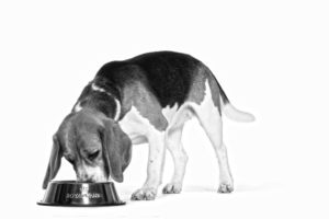 Beagle Eating ROYAL CANIN®