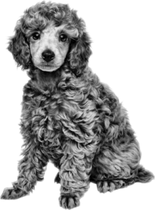 Poodle ROYAL CANIN®