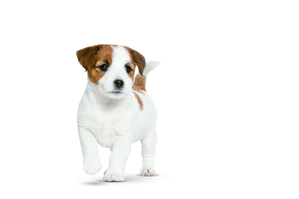 Jack Russell Dog ROYAL CANIN®