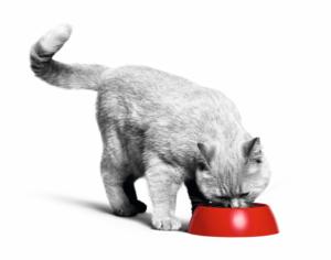 British Shorthair eating cat food