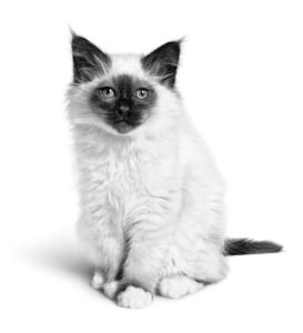 Sacred Birman Kitten