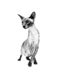 Siamese Adult