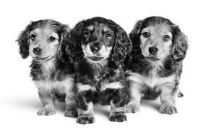 Dachs puppy