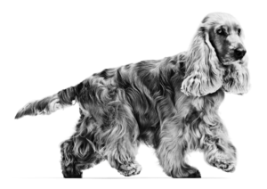 English Cocker Spaniel in black and white