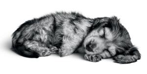 daschund puppy asleep
