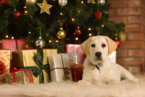 Labrador puppy with Christmas presents under Christmas tree.