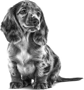 black and white picture of a dashchund puppy sitting down and looking into the distance