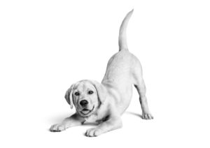 Labrador Puppy Growth