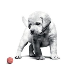 Puppy Labrador Birth