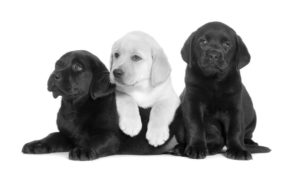 Black and white Labrador puppies laying down