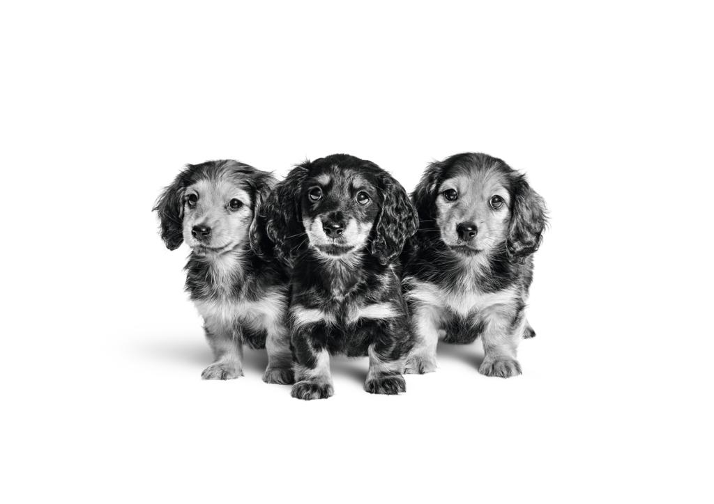 three dashchund puppies