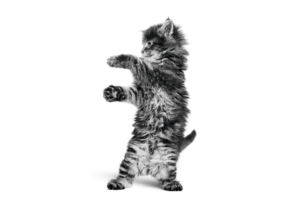 black and white photograph of maine coon kitten standing on hind legs