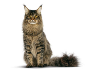 maine coon cat sitting down (white background)