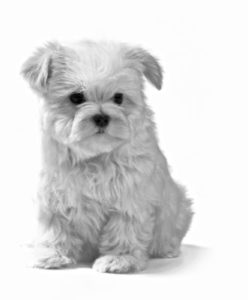 black and white photo of Bichon Frise puppy sitting down
