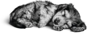 Puppy Dachshund Birth Growth