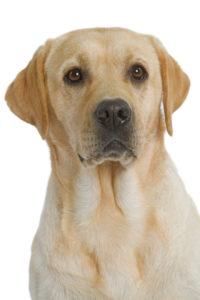 Labrador Medium close up