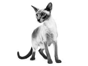 Siamese adult in black and white