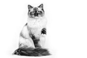 RAGDOLL ADULT black and white
