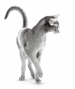 ABYSSINIAN ADULT