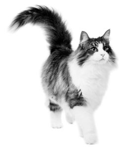 Norwegian Forest Cat adult in black and white