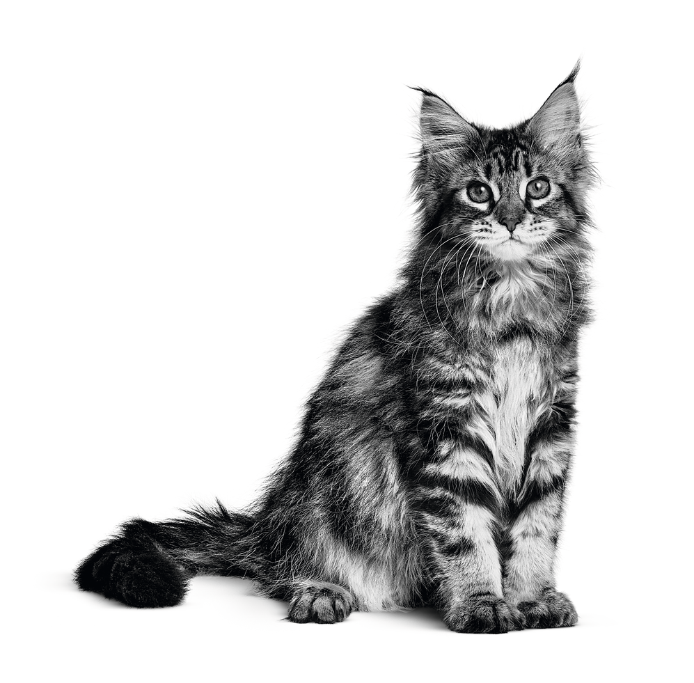 The Maine Coon Size Origin And More Royal Canin 174