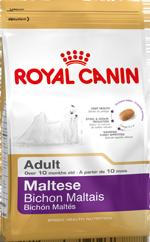 Maltese Adult